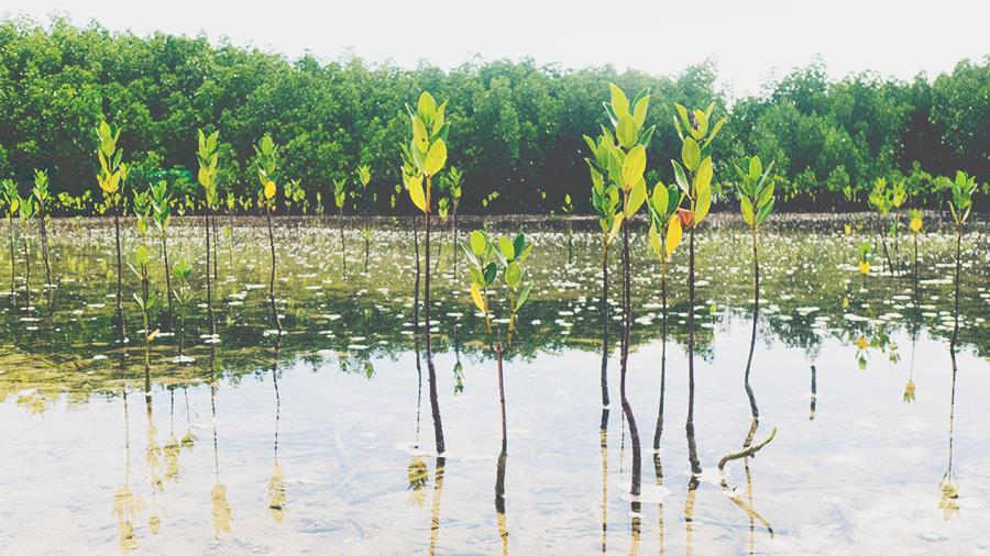 little mangroves